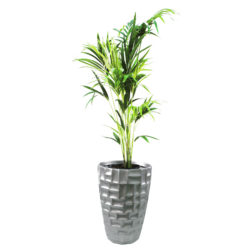 Kentia Palm in SRF 05 Pot