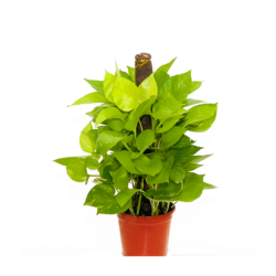 Money Plant Stick 01