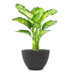 Dieffenbachia Tropic Snow in Pot QG-15