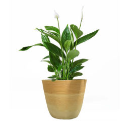 Peace lily in Plant Pot 13 F 30