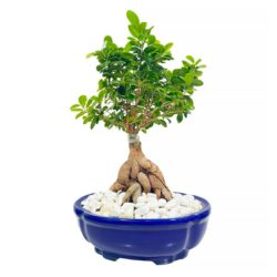 Bonsai In Pot HI 1104