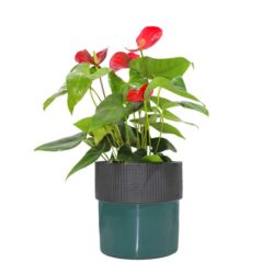 Anthuriums in Pot X50S