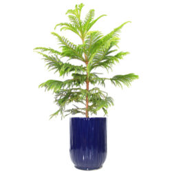 Araucaria in Pot H115B