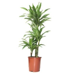 Dracaena lime Pale Green
