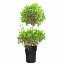 Ficus Two Step (BIG)