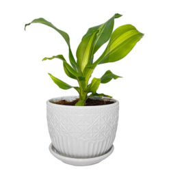 Dracaena lemon lime in Ceramic Pot