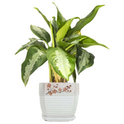 Aglaonema Pattaya Small
