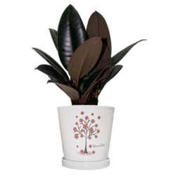 Ficus Robusta (Small 3pp)