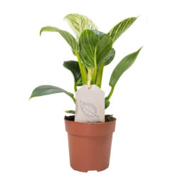 Philodendron Birkin (Small)