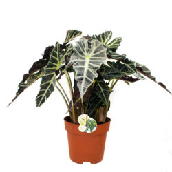 Alocasia Polly (Small)