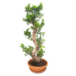 Bonsai S Shape (Big)