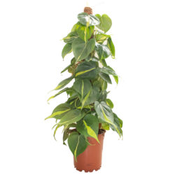Philodendron Brasil Stick
