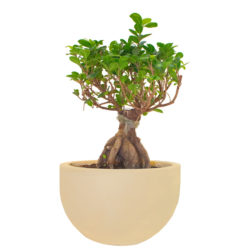 Bonsai in Fiber Pot