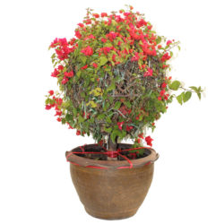 Bougainvillea Ball