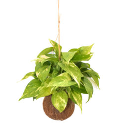 Money Plant Marble Queen in Coconut Pot