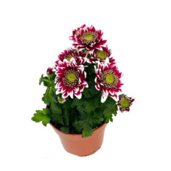 Chrysanthemum Double