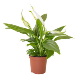 Spathiphyllum Pearl Cupido