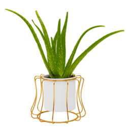 Aloe vera in Decorative Pot
