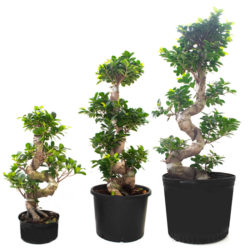 Bonsai S Shape