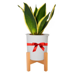 Sansevieria in Decorative Pot