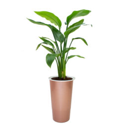 Philodendron Green in Pot A405