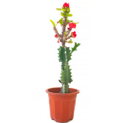 Euphorbia (Grafted)