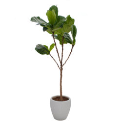 Ficus lyrata in Ceramic Pot