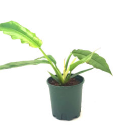Philodendron Ghost
