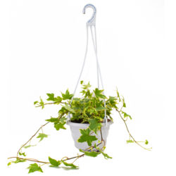 English ivy Hanging